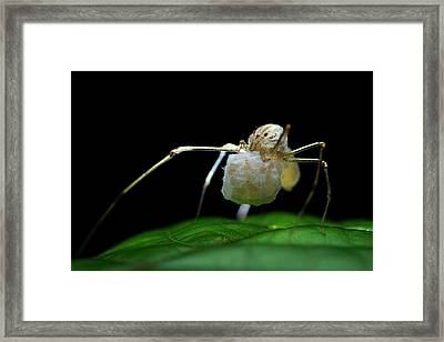 Spitting Spider With Eggs Framed Print by Melvyn Yeo