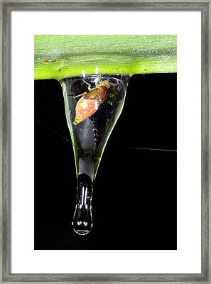 Spittle Bug Nymph Framed Print by Dr Morley Read