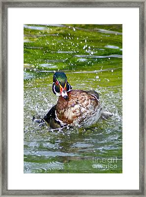 Splashdown - Wood Duck Framed Print