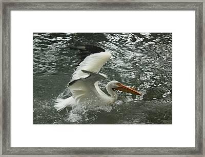 Splashing Pelican Framed Print