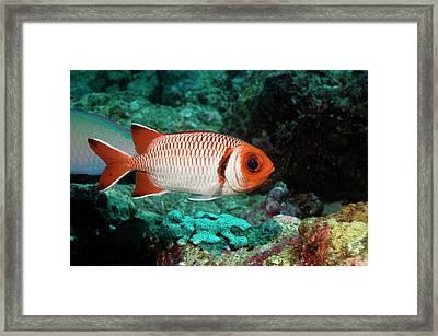 Splendid Soldierfish On A Reef Framed Print by Georgette Douwma