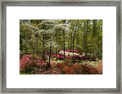 Splendor - Azalea Garden Framed Print by Jane Eleanor Nicholas