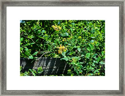 Split Rail Honeysuckle Framed Print
