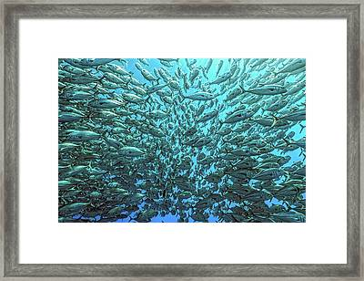Splitted School Of Jackfish Framed Print by Henry Jager