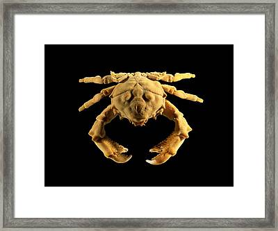 Sponge Crab Framed Print by Science Photo Library