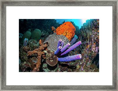 Sponges And Coral On A Reef Framed Print by Georgette Douwma