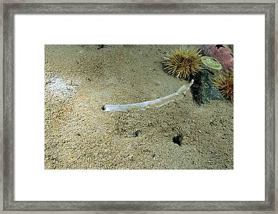 Spoon Worm Pseudobonellia Iridai Framed Print by Andrew J. Martinez