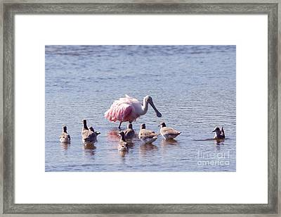 Spoonbill And Willets Framed Print by Natural Focal Point Photography