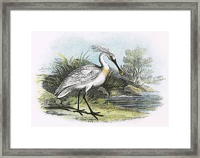 Spoonbill Framed Print by English School