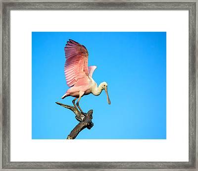 Spoonbill Flight Framed Print by Mark Andrew Thomas