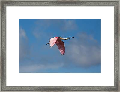 Framed Print featuring the photograph Spoonie In Flight by John M Bailey
