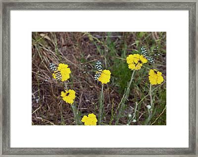 Spoonwing Lacewings On Achillea Flowers Framed Print by Bob Gibbons