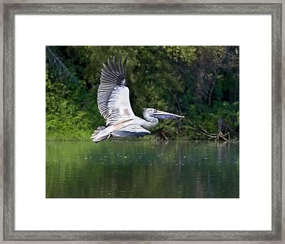 Spot-billed Pelican In Flight Framed Print