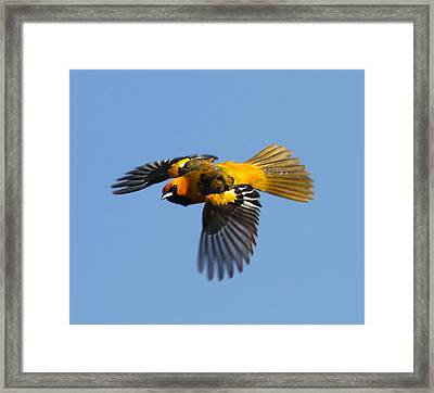 Spot Breasted Oriole In Flight Framed Print