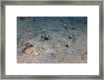 Spotfin Flounder Cyclopsetta Fimbriata Framed Print by Andrew J. Martinez