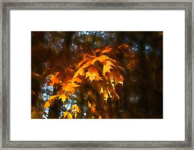 Spotlight On The Golden Maple Leaves - Fall Forest Impressions Framed Print
