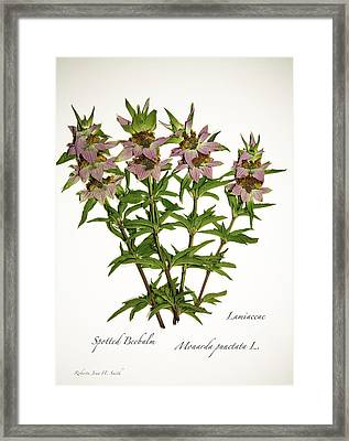 Spotted Beebalm 1 Framed Print