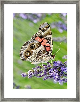 Spotted Butterfly Framed Print by Kim Bemis