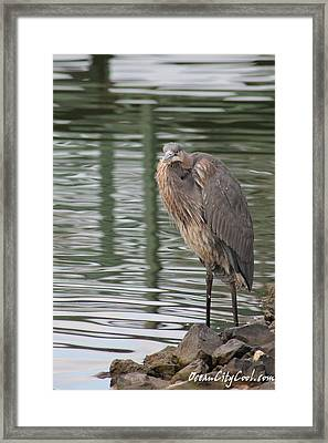 Framed Print featuring the photograph Spotted By A Great Blue Heron by Robert Banach