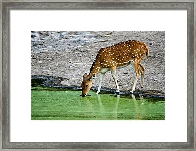 Spotted Deer Axis Axis Drinking Water Framed Print by Panoramic Images