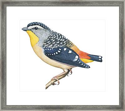 Spotted Diamondbird Framed Print by Anonymous