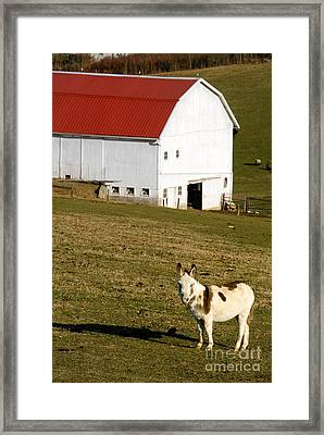 Spotted Donkey Looks Uninterested Framed Print by Amy Cicconi