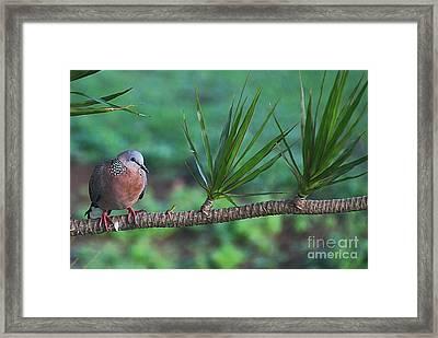 Spotted Dove Framed Print by Elizabeth Winter