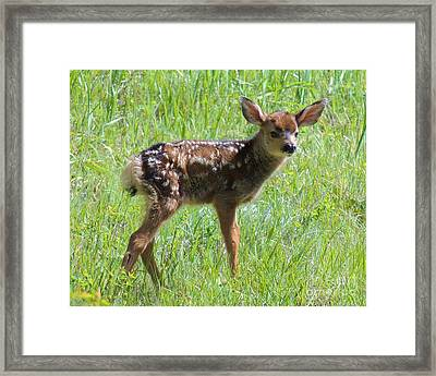 Spotted Fawn  Framed Print by Michele Penner