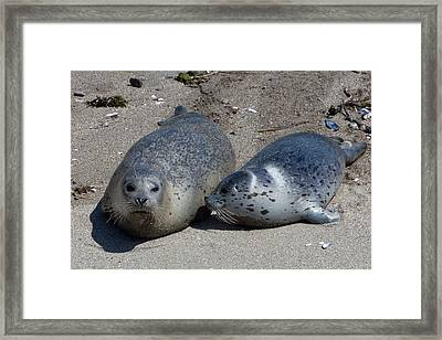 Spotted Harbor Seals On The Beach Framed Print