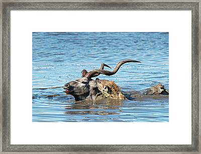 Spotted Hyenas Attacking A Greater Kudu Framed Print by Tony Camacho