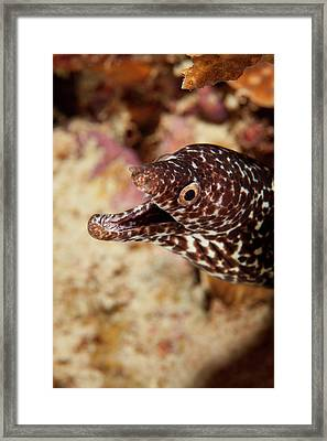 Spotted Moray Eel Off Bonaire, N Framed Print by James White