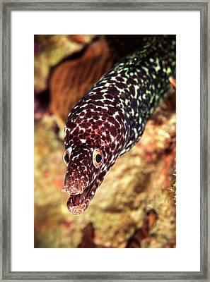 Spotted Moray (gymnothorax Moringa Framed Print by James White