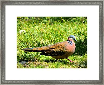Framed Print featuring the photograph Spotted Nape Dove by Kristine Merc