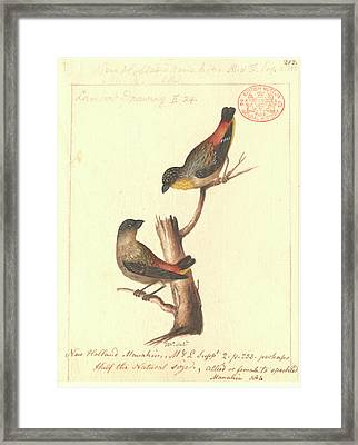 Spotted Pardalote Framed Print by Natural History Museum, London