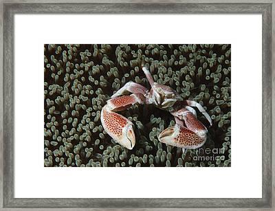 Spotted Porcelain Crab In Anemone Framed Print by Steve Jones