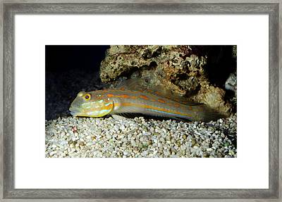 Spotted Prawn Goby Or Orange Spotted Goby Framed Print
