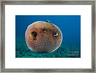Spotted Pufferfish Framed Print