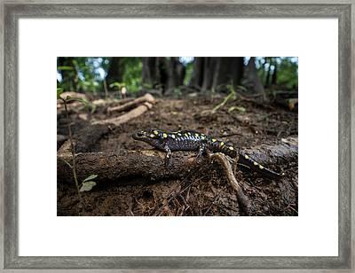 Spotted Salamander (ambystoma Maculatum Framed Print
