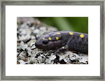 Spotted Salamander Framed Print by Bruce J Robinson