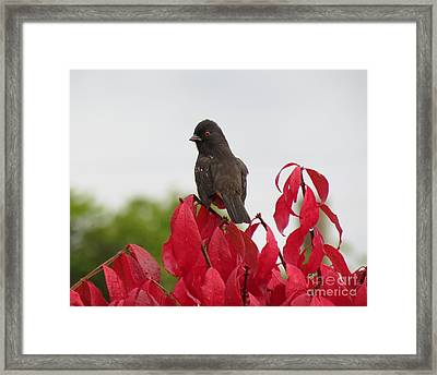 Spotted Towhee In The Rain Framed Print