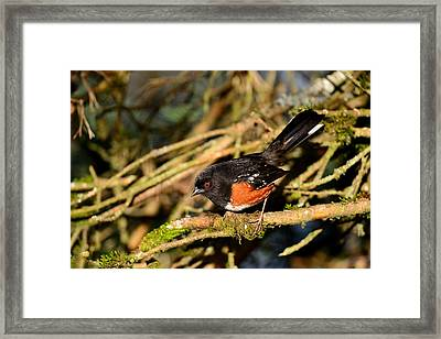 Spotted Towhee Framed Print by Kathy King