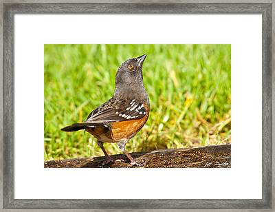 Spotted Towhee Looking Up Framed Print