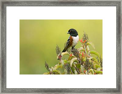 Framed Print featuring the photograph Spotted Towhee by Ram Vasudev