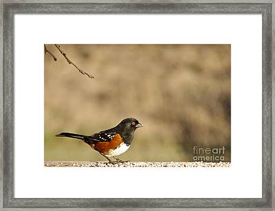 Spotted Towhee Framed Print by Sean Griffin