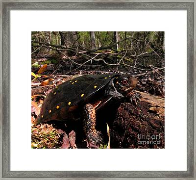 Spotted Turtle Framed Print