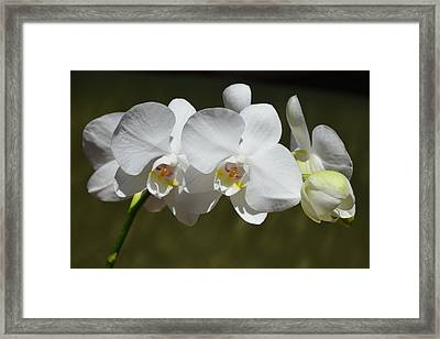 Spray Of Beautiful White Orchids Framed Print by Carla Parris