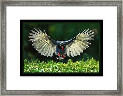 Spread My.wings Framed Print by Tracie Howard