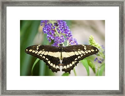 Spread Your Wings My Little Butterfly  Framed Print by Saija  Lehtonen