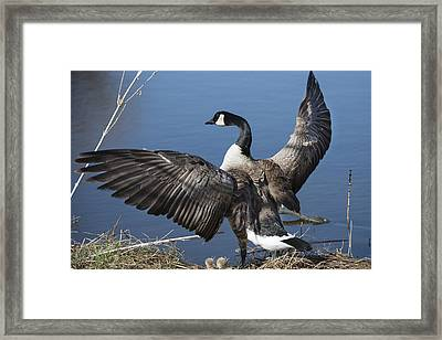 Spreading My Wings... Framed Print by David Yack