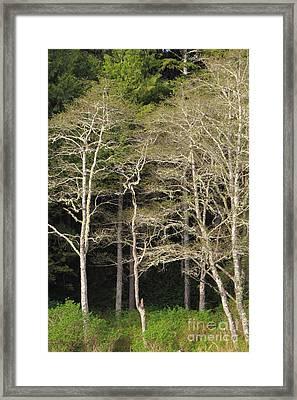 Spring Alders Framed Print by Frank Townsley